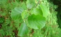 página superior do amieiro - Alnus glutinosa