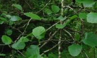folha juvenis do amieiro - Alnus glutinosa