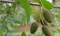 amentos femininos imaturos, frutos do amieiro - Alnus glutinosa