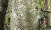 ritidoma da aveleira – Corylus avellana