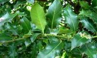 página inferior, verde pálido do azevinho – Ilex aquifolium
