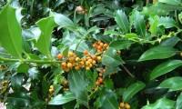 frutos em maturação do azevinho – Ilex aquifolium