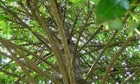 disposição dos ramos do azevinho – Ilex aquifolium