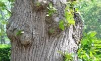 ritidoma adulto do castanheiro - Castanea sativa