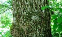 ritidoma adulto do cerquinho, carvalho-português - Quercus faginea subsp. broteroi