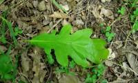 página superior, carvalho-negral - Quercus pyrenaica