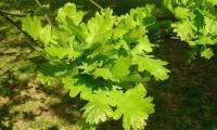 páginas superiores de carvalho-negral - Quercus pyrenaica