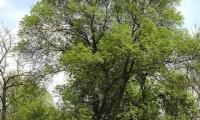 hábito de um freixo isolado – Fraxinus angustifolia