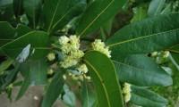 flores femininas do loureiro – Laurus nobilis