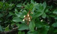 flores e pequenos frutos do medronheiro - Arbutus unedo