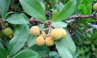 frutos imaturos do medronheiro - Arbutus unedo