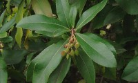 frutificação imatura do medronheiro - Arbutus unedo