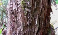 aspecto do ritidoma esfoliado do medronheiro - Arbutus unedo