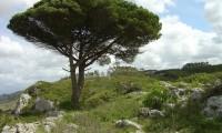 hábito de pinheiro-manso – Pinus pinea