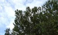 aspecto parcial da copa de pinheiro-manso – Pinus pinea