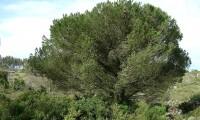 hábito jovem do pinheiro-manso – Pinus pinea