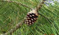 pinha sem sementes de pinheiro-bravo – Pinus pinaster
