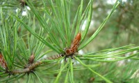 gomo de pinheiro-silvestre – Pinus sylvestris