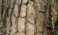 fuste, ritidoma adulto de pinheiro-silvestre – Pinus sylvestris