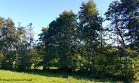 bosquete ripícola de amieiros - Alnus glutinosa