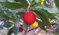 fruto maduro, verrugoso do medronheiro - Arbutus unedo