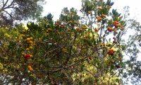 aspecto parcial da frutificação do medronheiro - Arbutus unedo