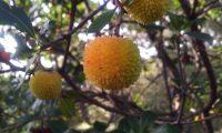 frutos imaturos de medronheiro - Arbutus unedo