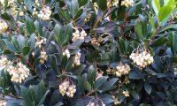 aspecto parcial da floração do medronheiro - Arbutus unedo