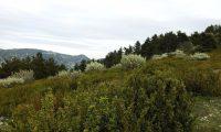 forma arbustiva do buxo no meio natural - Buxus sempervirens
