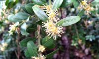 grupo de flores, buxo - Buxus sempervire