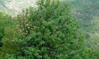 hábito do castanheiro, reboleiro - Castanea sativa