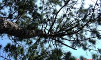 pernadas de pinheiro-bravo - Pinus pinaster