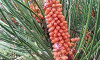 inflorescência masculina do pinheiro-bravo - Pinus pinaster
