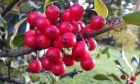 frutos de azevinho - Ilex aquifolium