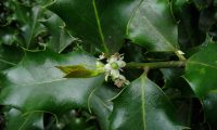 flor feminina de azevinho - Ilex aquifolium