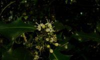 flores masculinas de azevinho - Ilex aquifolium