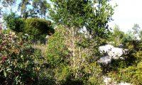 hábito de carrasco, carrasqueiro – Quercus coccifera