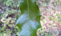 página superior de carrasco – Quercus coccifera