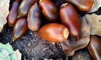 glandes de carrasco-arbóreo - Quercus rivasmartinezii