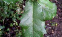 páginas superiores de carrasco-arbóreo - Quercus rivasmartinezii