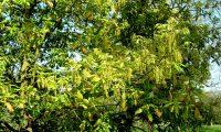 aspecto parcial dos abundantes amentilhos de carvalho-de-monchique - Quercus canariensis