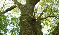 aspecto do tronco e das potentes pernadas de carvalho-de-monchique - Quercus canariensis
