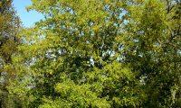 hábito jovem de carvalho-de-monchique - Quercus canariensis
