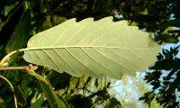 página inferior de carvalho-de-monchique - Quercus canariensis