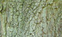 ritidoma adulto do carvalho-de-monchique, carvalho-das-canárias - Quercus canariensis