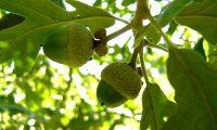 bolotas imaturas de carvalho-negral - Quercus pyrenaica