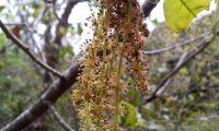 amentilhos (flores masculinas), carvalho-português - Quercus faginea