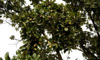 aspecto parcial da frutificação do carvalho-português - Quercus faginea subsp. broteroi