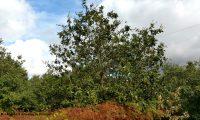 hábito de jovem carvalho-português - Quercus faginea