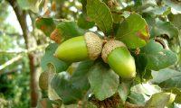 glandes de carvalho-português - Quercus faginea subsp. broteroi